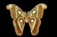 vlindervagina