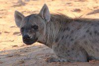 hyenamassa